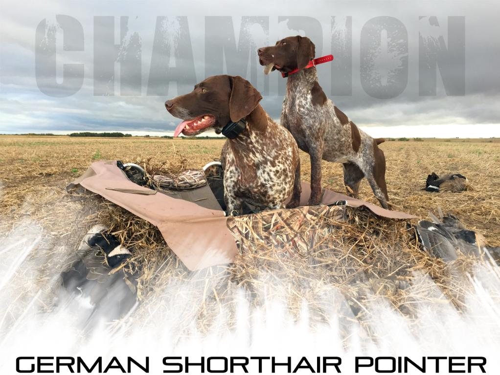 Champion Sporting Dogs, Quality breeder of German Shorthair Pointers